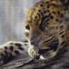 ВИндии леопард пробрался вшколу иранил пятерых