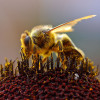 ВСША массово гибнут пчелы