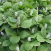 Найдено считавшееся исчезнувшим растение наКурилах