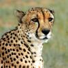 Петербурские генетики впервый раз собрали геном африканского гепарда