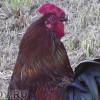 Ученые: Утром петухи кукарекают строго поиерархическому порядку
