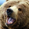 ВКрасноярском крае медведь напал налюдей
