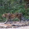 ВлесахРФ и КНР живут не менее 80 дальневосточных леопардов