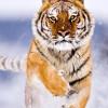 ВоВладивостоке ветеринары сражаются зажизнь раненой амурской тигрицы