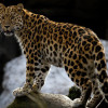 Жители России икитайцы сосчитали редчайших дальневосточных леопардов на собственных территориях