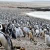 Миллионную колонию пингвинов сейчас можно увидеть на Пунта-Томбо — полуострове Аргентины
