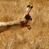 Как охотиться на зайца зимой без собаки