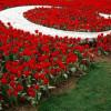 Стамбульский фестиваль тюльпанов ждет гостей 1 апреля 2017 года