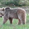 Медведи гризли стали незваными гостями горнолыжного курорта Турции Джибилтепе