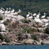 Туристы массово стекаются наблюдать за колонией пеликанов на северо-восточной границе Турции
