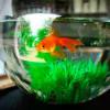 Бельгийский отель предлагает арендовать рыбку в аквариуме, чтобы развеять скуку