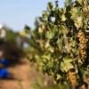 Самое старое в мире вино найдено внутри 6000-летней банки в Италии
