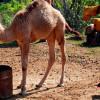 Тур «Призрачный город» на верблюдах процветает в деревне Каякёй