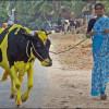 В индийском штате Махараштра за продажу говядины могут посадить на 5 лет