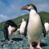 Пингвины пытались совершить побег из зоопарка в Дании (ВИДЕО)