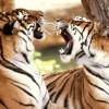 В Малайзии голодный тигр бродит в поисках зазевавшегося туриста