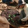 Дешевый реал и небывалый урожай уронили цены на бразильский кофе до полуторагодового минимума