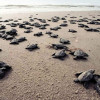 В Мерсине туристов призывают к осторожному обращению с новорожденными черепашками
