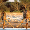 Львиный парад в Малави