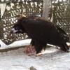 Награнице Приморья сКитаем спасли краснокнижного грифа