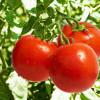 Россельхознадзор расширил количество турецких учреждений, экспортирующих томаты в РФ
