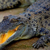 В Дубае откроется первый парк крокодилов
