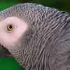 Лондонский попугай размещает онлайн-заказ на Amazon, имитируя голос владельца