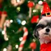 Собаки подвергаются пиковому риску отравления шоколадом во время рождественского сезона