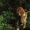 Индийские офицеры используют духи Calvin Klein, чтобы поймать тигра-убийцу