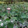 Река Оронт на юге Турции сильно заросла водными орхидеями, местные жители встревожены