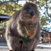 Французские туристы оштрафованы австралийским судом за попытку поджечь квокку