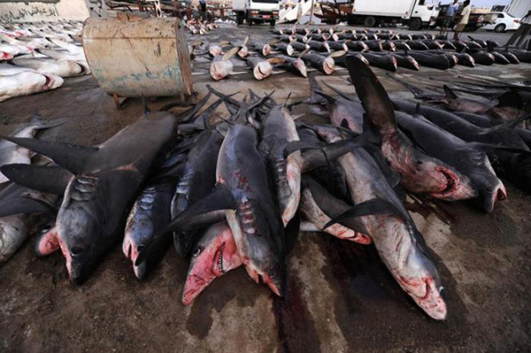 рынок акульего мяса в Японии оценивается в $1,2 млрд в год
