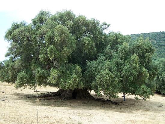 В Анталии появилось 1000-летнее оливковое дерево