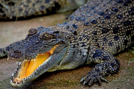 В Дубае откроется первый парк крокодилов.