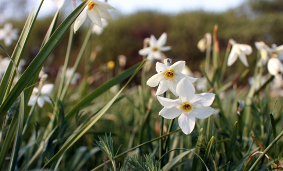 Живая и самая прекрасная легенда Закарпатья – Долина Нарциссов