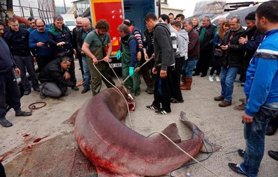 Акулы турецких морей. Стоит ли опасаться туристам морских хищников?