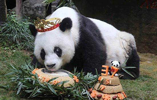 «Bye bye Basi»: старейшая панда на планете умирает в 37 лет в Китае
