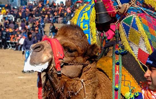 Верблюжьи бои в Турции