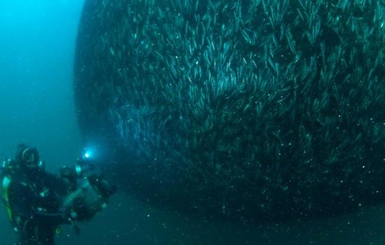 Турецкие анчоусы — не только вкусная морская рыба, но и отличные экспонаты для наблюдения под водой во время дайвинга