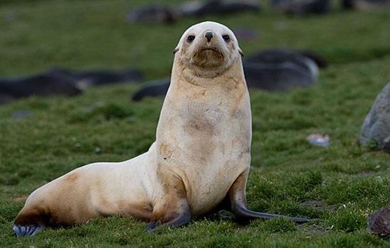 Редкий тюлень-альбинос, обнаруженный в турецком курортном городе Бодрум