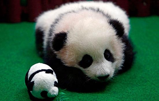 Малазийский зоопарк впервые демонстрирует панду-детеныша, привлекая туристов