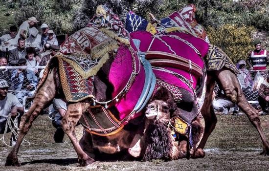 Фестиваль борьбы на верблюдах в Селчуке, Турция