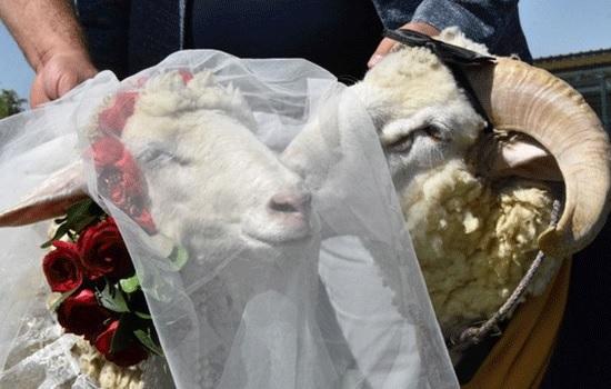 Владелец ресторана в центральной провинции Конья устроил свадьбу овец