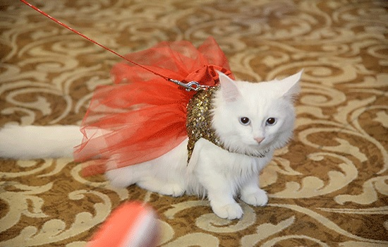 Кошачьи поклонники стекаются в Анкару на Фестиваль красоты кошек