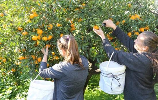 С 29 по 30 декабря в Бодруме проходит Фестиваль урожая мандарина