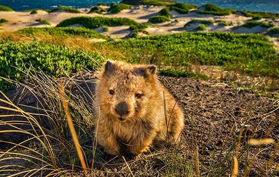 Австралия хочет, чтобы посетители острова Мария воздерживались от селфи с вомбатом