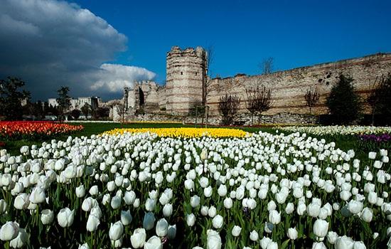 Тюльпаны Стамбула