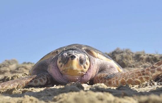 Морские черепахи Каретта-Каретта начинают откладывать яйца в Мугла, поэтому доступ туристам на пляж ограничен