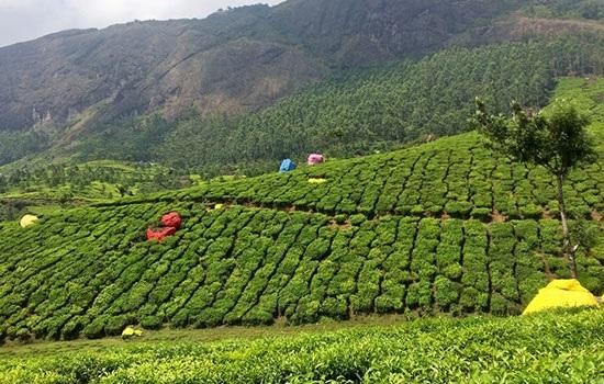 Правительство Сиккима Индии поощряет потенциал чайного туризма