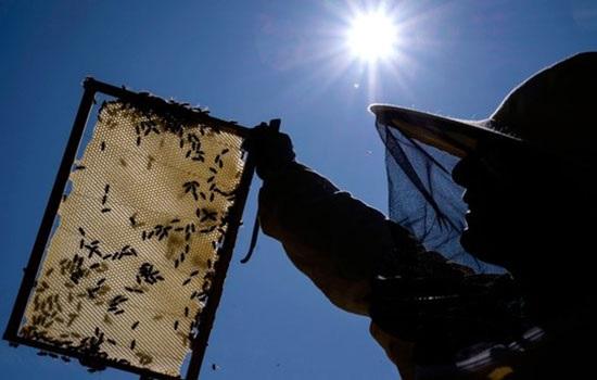 Россия обеспокоена массовой гибелью пчел из-за использования пестицидов